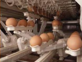 Parallel Egg Handling Keeps Handling Speeds Low & Safe